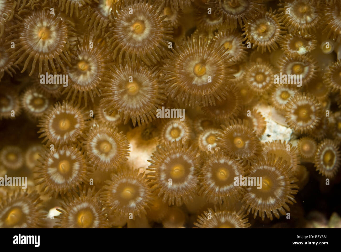 Soft coral Zoanthus sp., reef invertebrates of Indo-pacific ocean - Stock Image