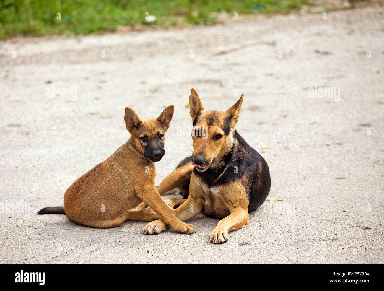 Dogs posing for camera - Stock Image