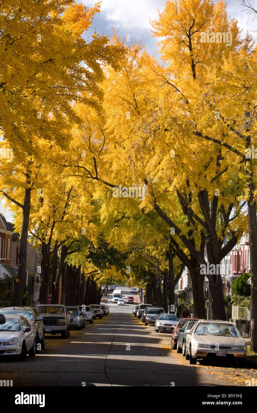 Ginkgo trees blazing yellow November in Washington D.C. - Stock Image