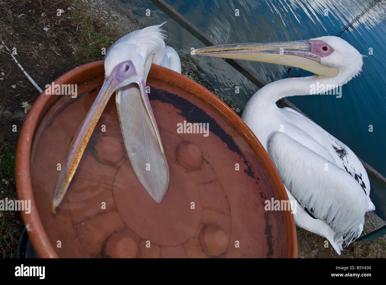 Pelecanus onocrotalus pellicano bianco pellicanidi uccelli acquatici - Stock Image
