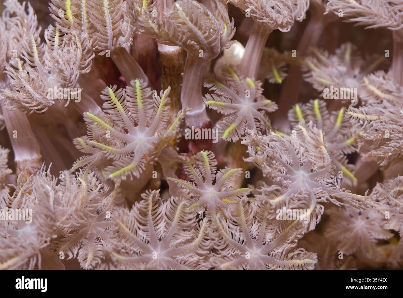 Soft coral Cespitularia sp., reef invertebrates of Indo-pacific ocean - Stock Image