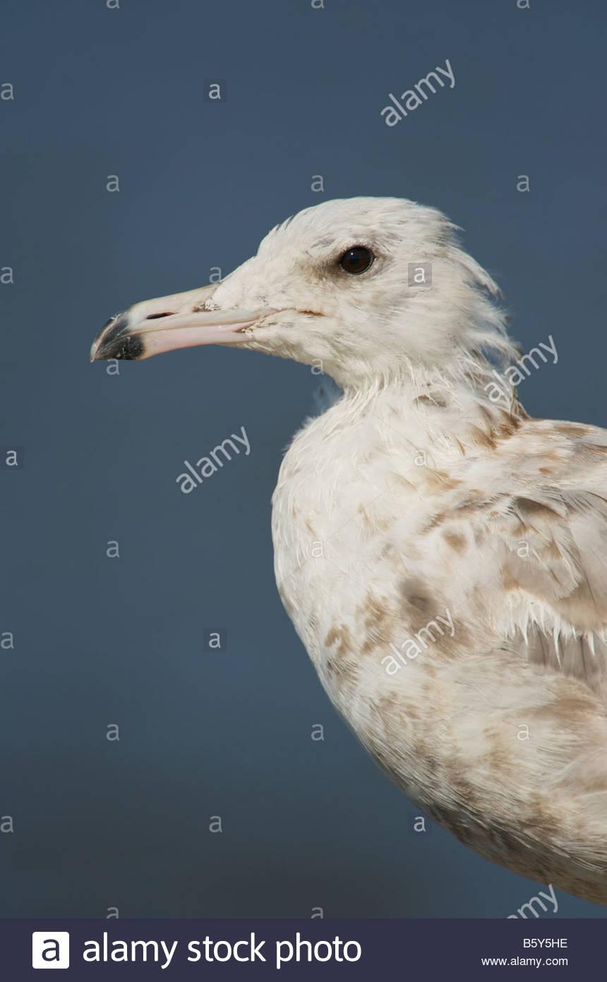California Gull Larus californicus 1st winter bird closeup - Stock Image