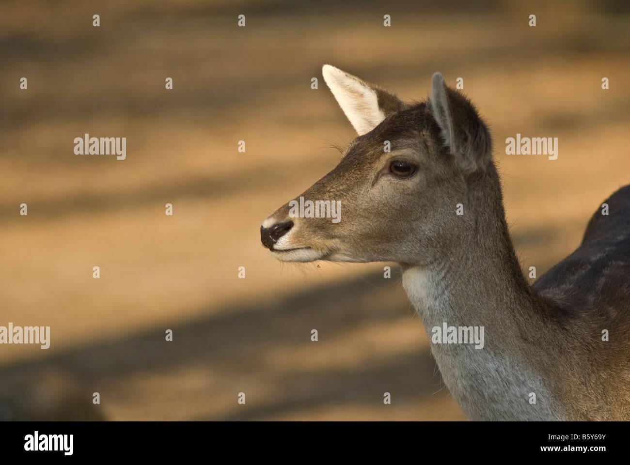 Female llama, Lama glama, Camelidae family mammal - Stock Image