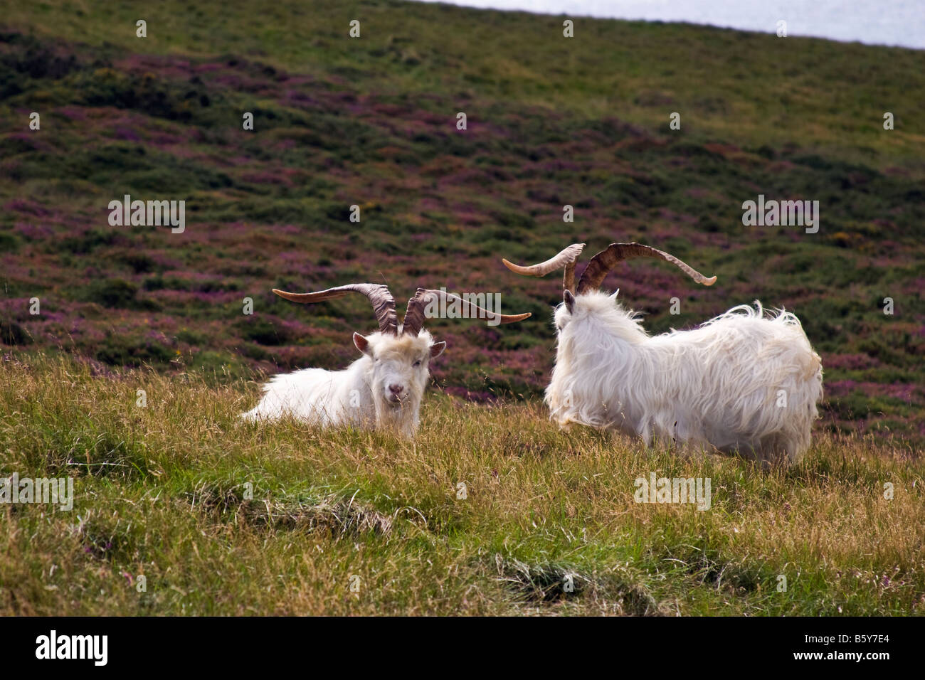 Kashmiri Goats rest on the Great Orme, Llandudno, Wales - Stock Image
