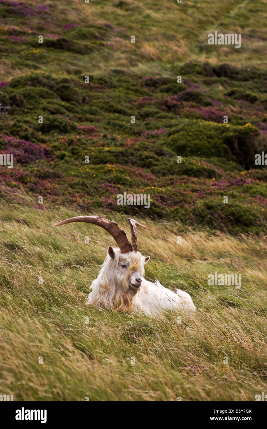 A Kashmiri Goat rests on the Great Orme, Llandudno, Wales - Stock Image
