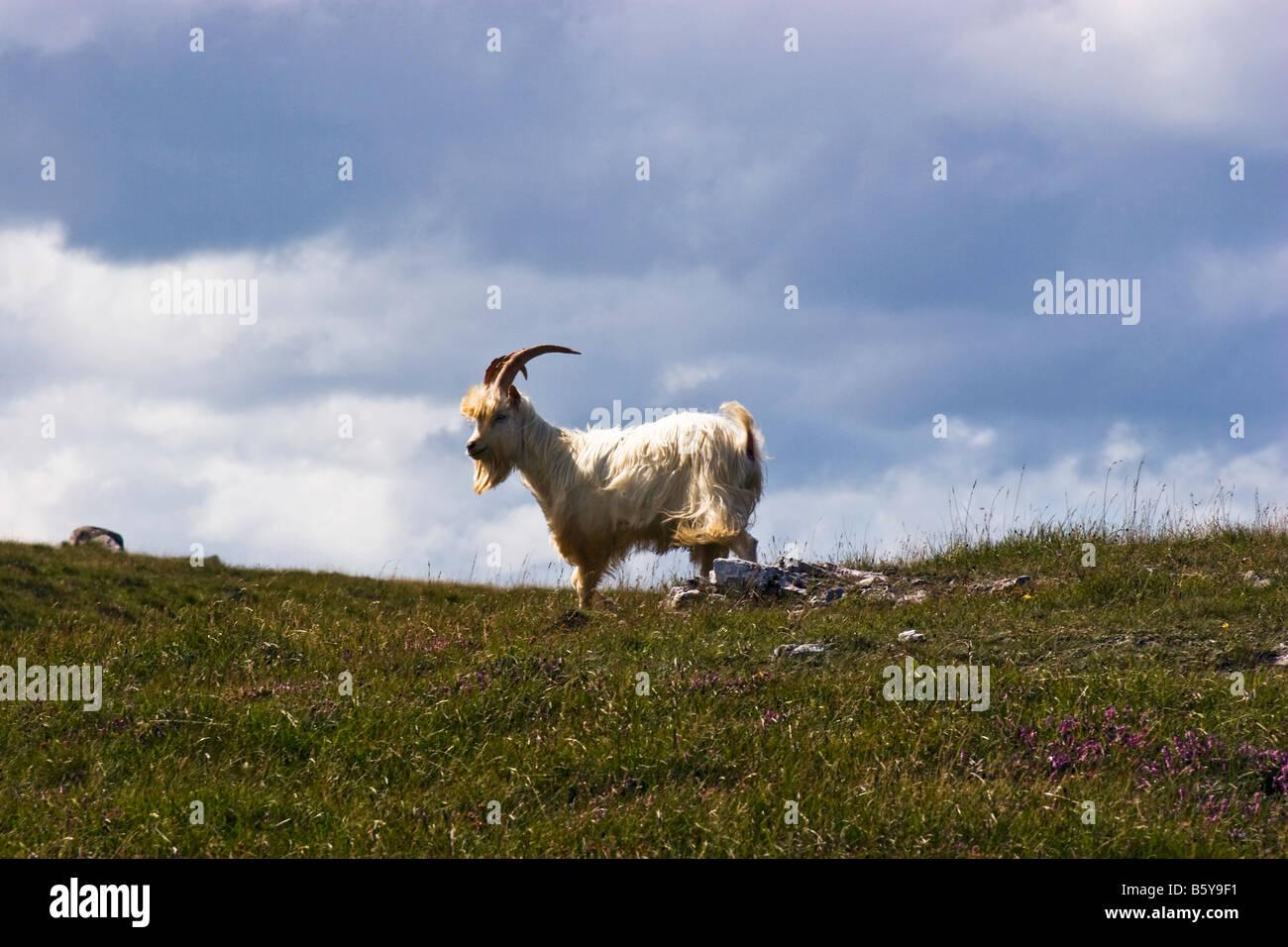 Kashmiri Goat, Capra Markhor, on Great Orme, Llandudno, wales - Stock Image