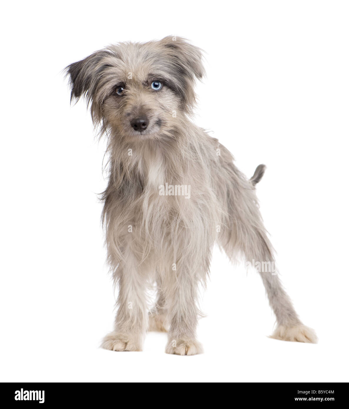 Pyrenean Shepherd 18 weeks in front of a white background - Stock Image