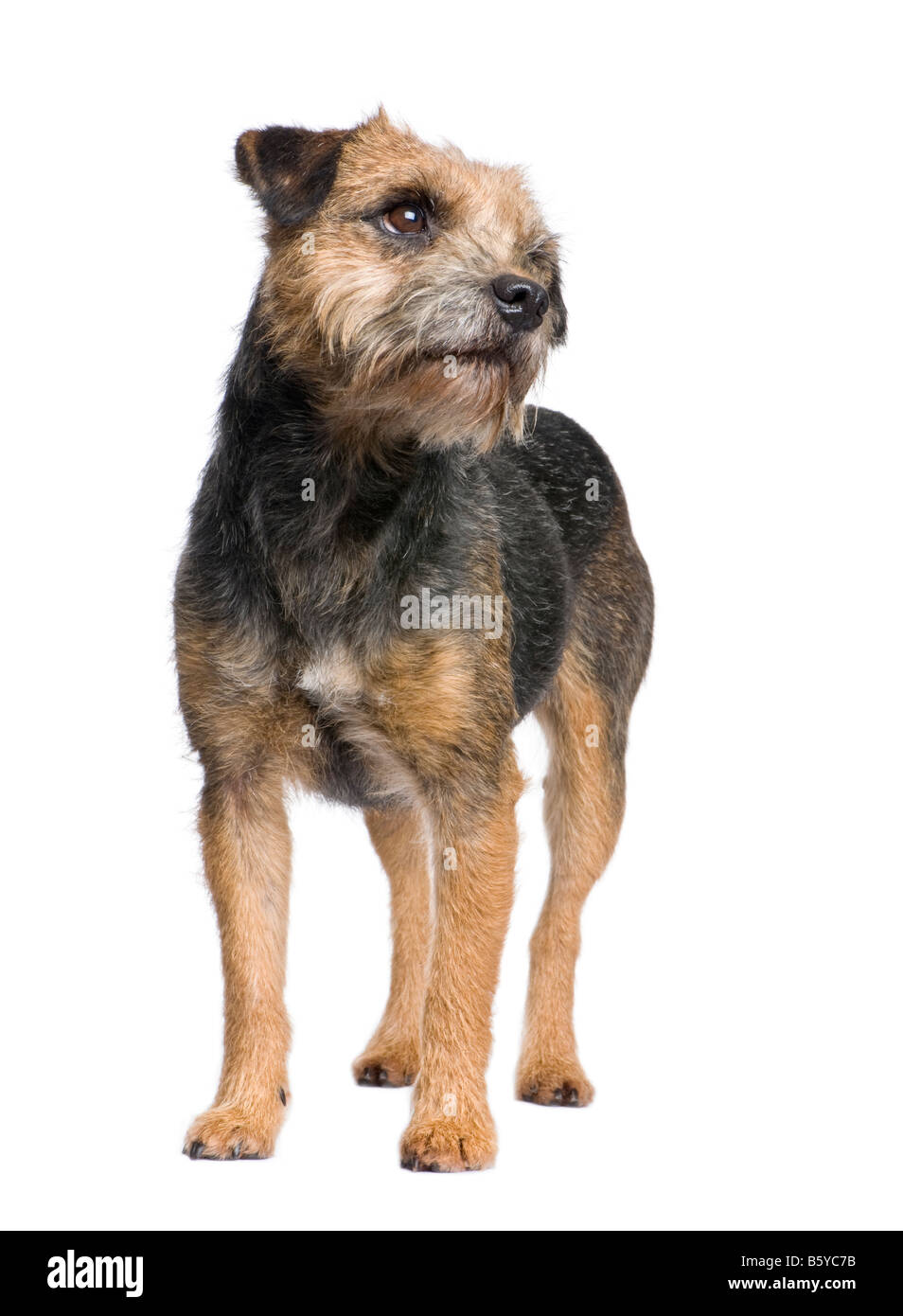 Border terrier in front of a white background - Stock Image