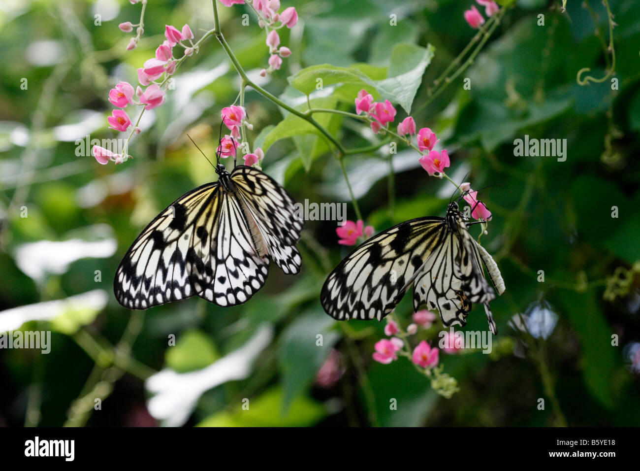 Rice Paper Butterfly On Pink Flowers In A Garden In Cape Town South