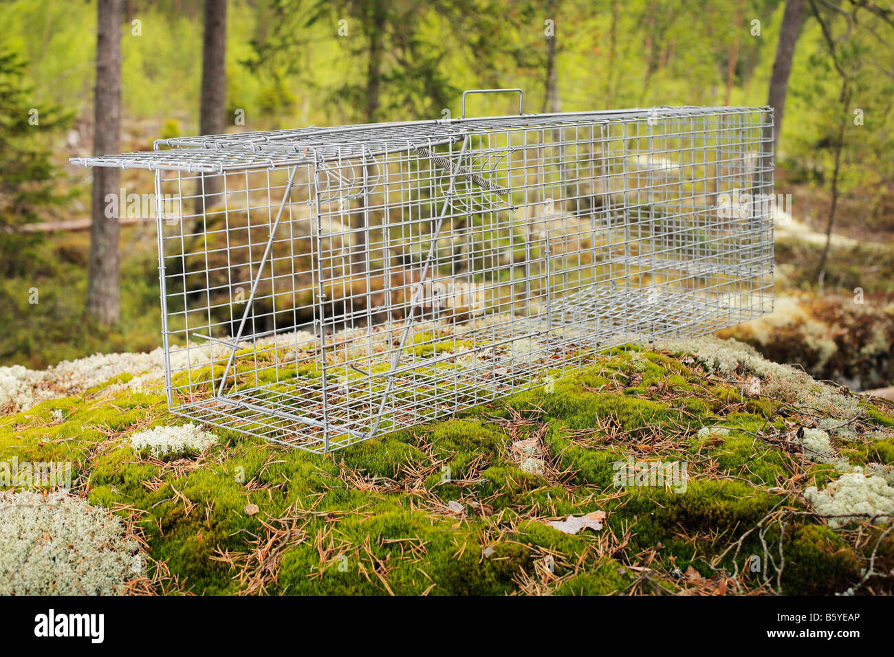 Humane metallic raccoon dog trap in forest setting - Stock Image