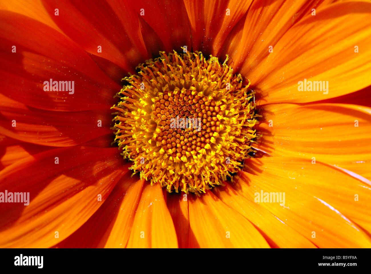 corolla of flower - Stock Image