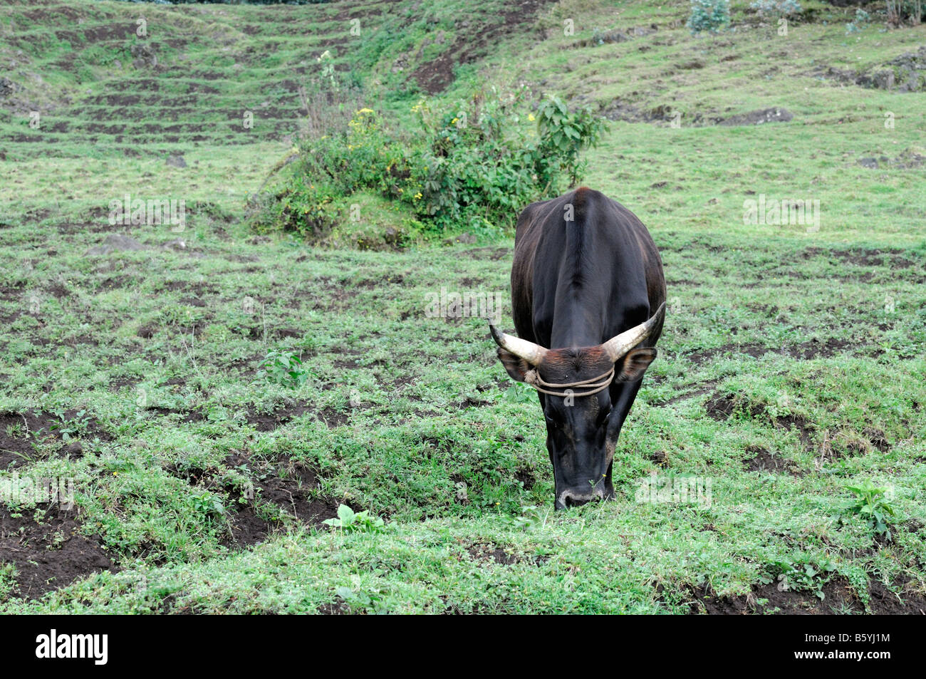 Cow grazing on lush green pasture typical rural countryside farm land beside the volcanoes national park in rwanda - Stock Image