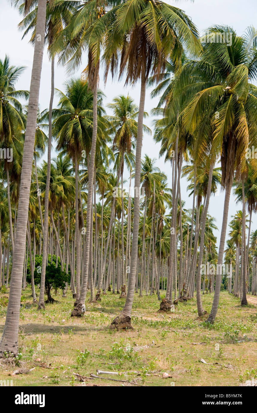 Asia natural park forest palm - Stock Image