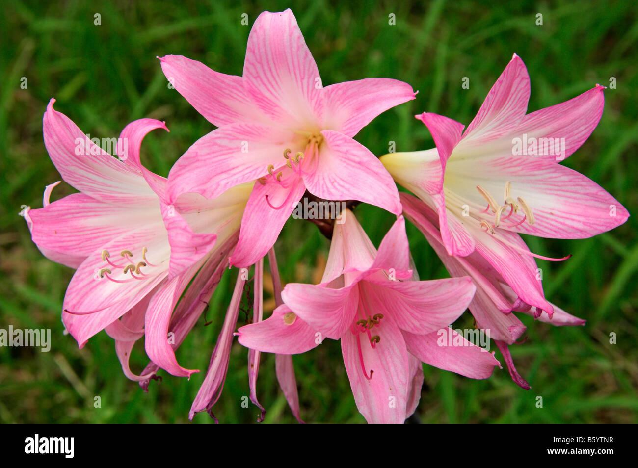 Pink Flowers Of Belladonna Lily Amaryllis Belladonna In October Sao