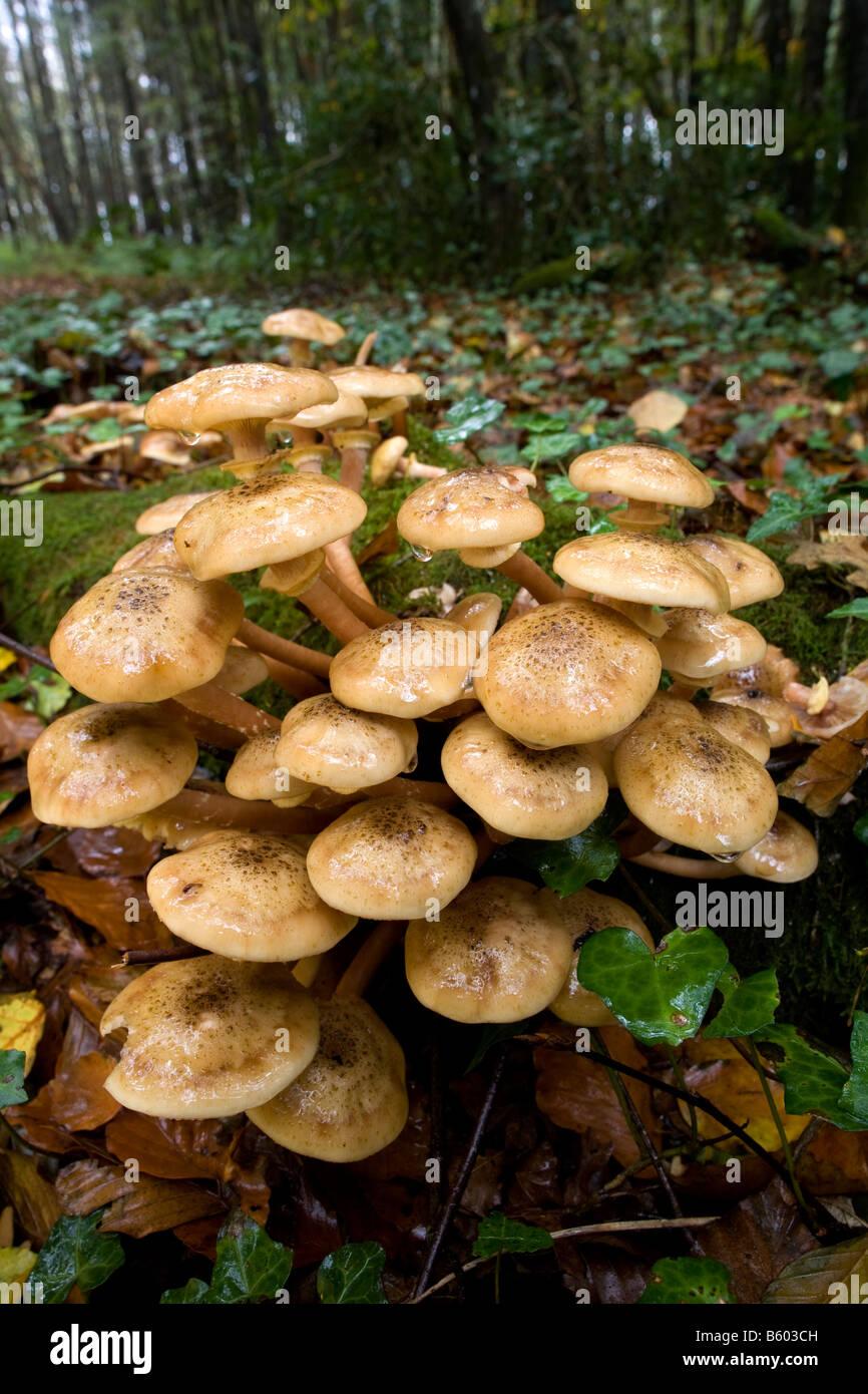 honey fungus Armillaria mellea - Stock Image