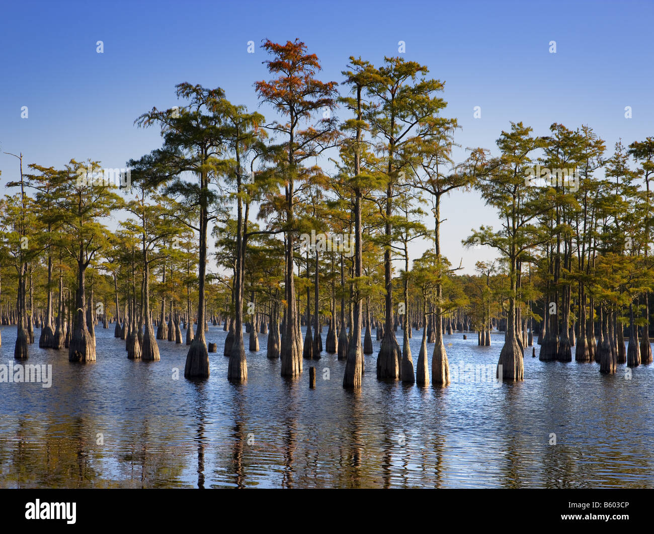 Cypress Trees in the water as seen in South Georgia, USA Stock Photo