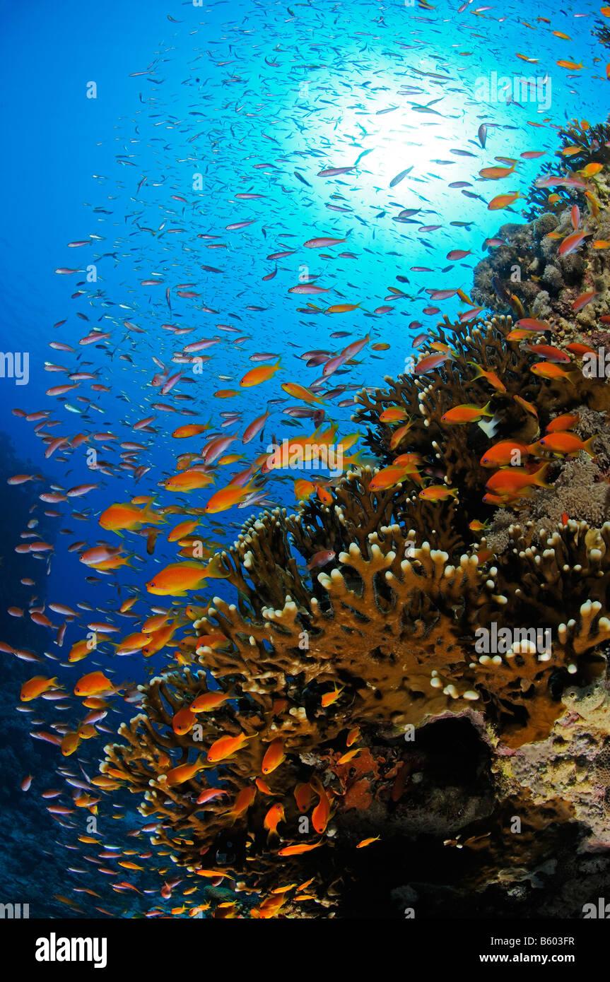 Pseudanthias squamipinnis Lyratail anthias on coral reef, Red Sea Stock Photo