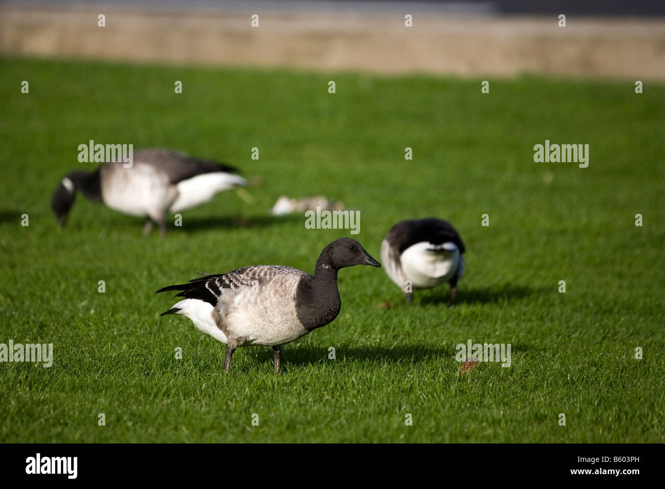Brent Geese - Stock Image
