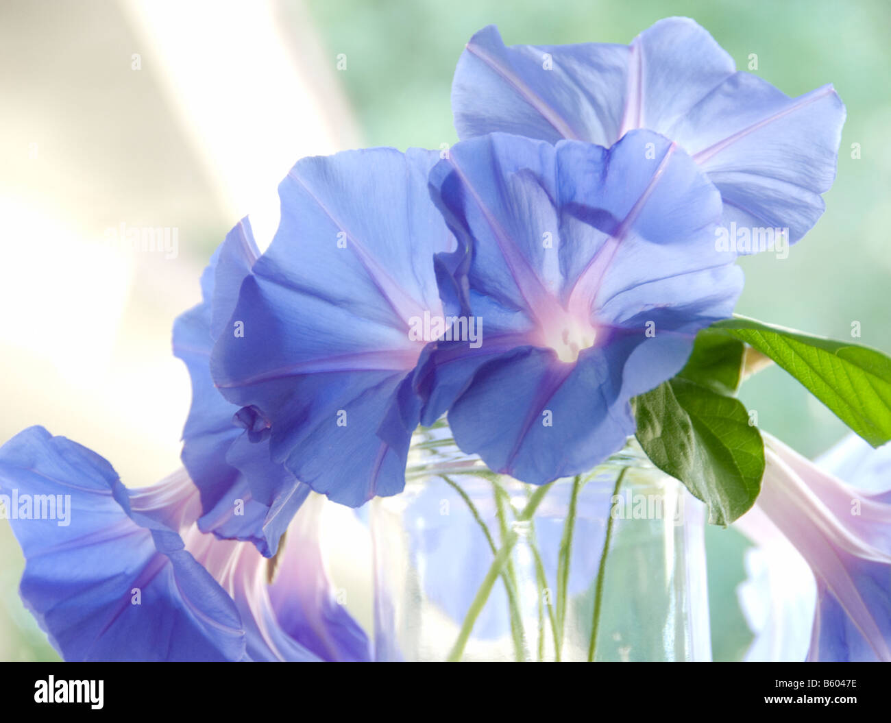 Beautiful blue flowers in the sunlight in the morning, in a jar with a home in the background. - Stock Image