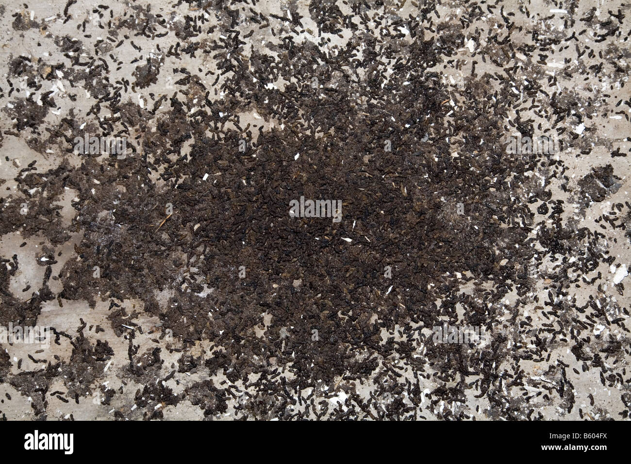 greater horseshoe bat droppings; creed cornwall - Stock Image