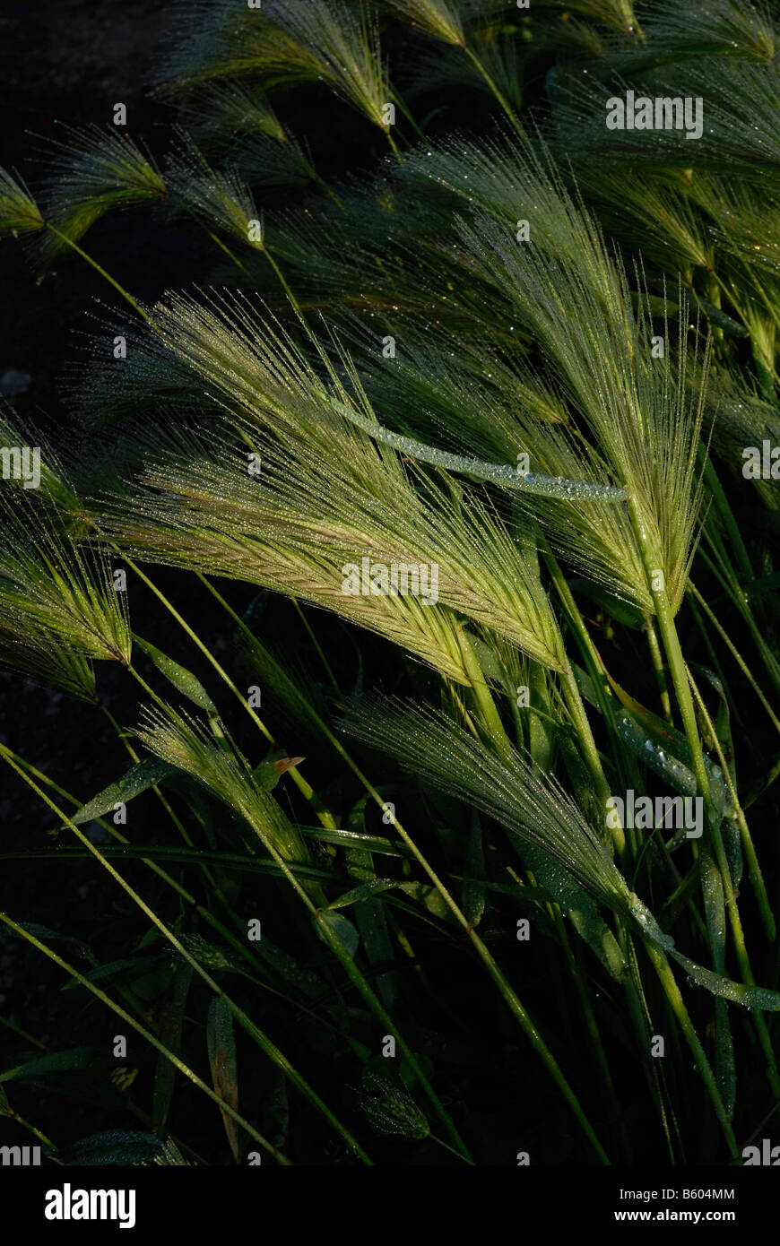 ears of corn with rime - Stock Image