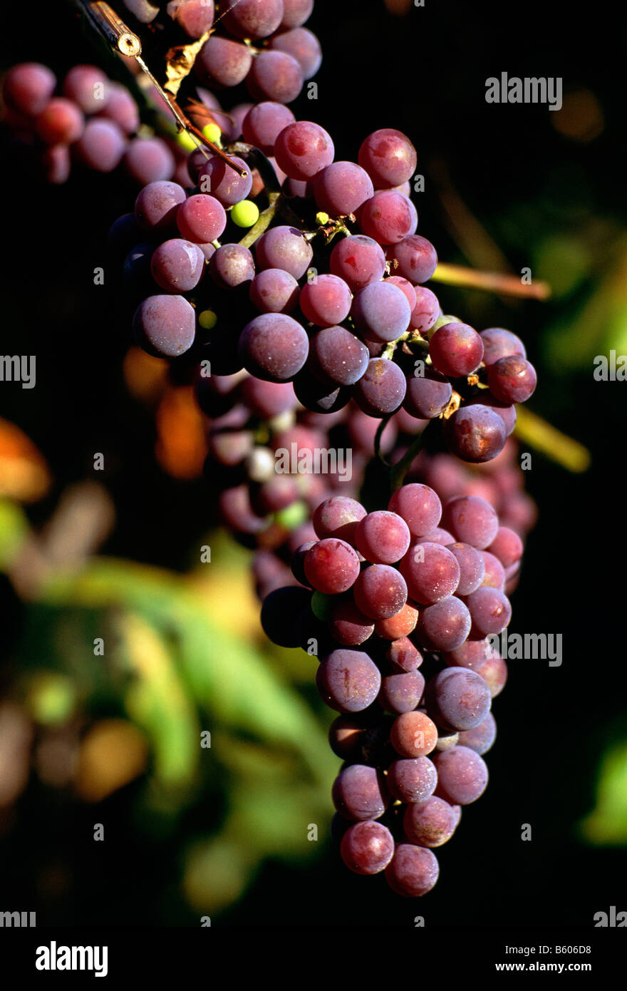 CONCORD GRAPE HARVEST, ARCHER VINEYARDS, TOWN OF NORTH EAST, ERIE COUNTY, PENNSYLVANIA, USA - Stock Image