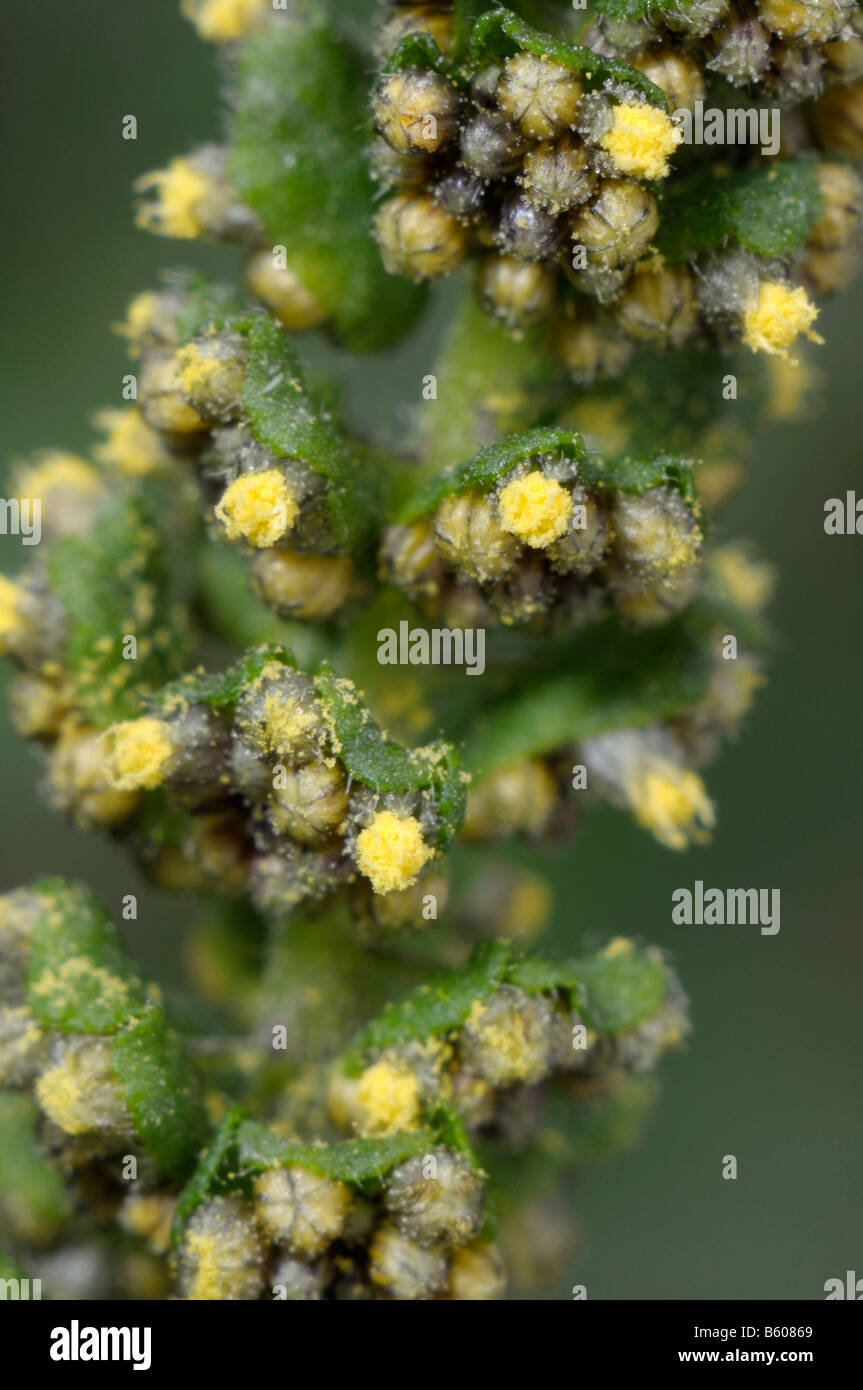 Annual Ragweed, Common Ragweed (Ambrosia artemisiifolia), flowering stem, close-up Stock Photo