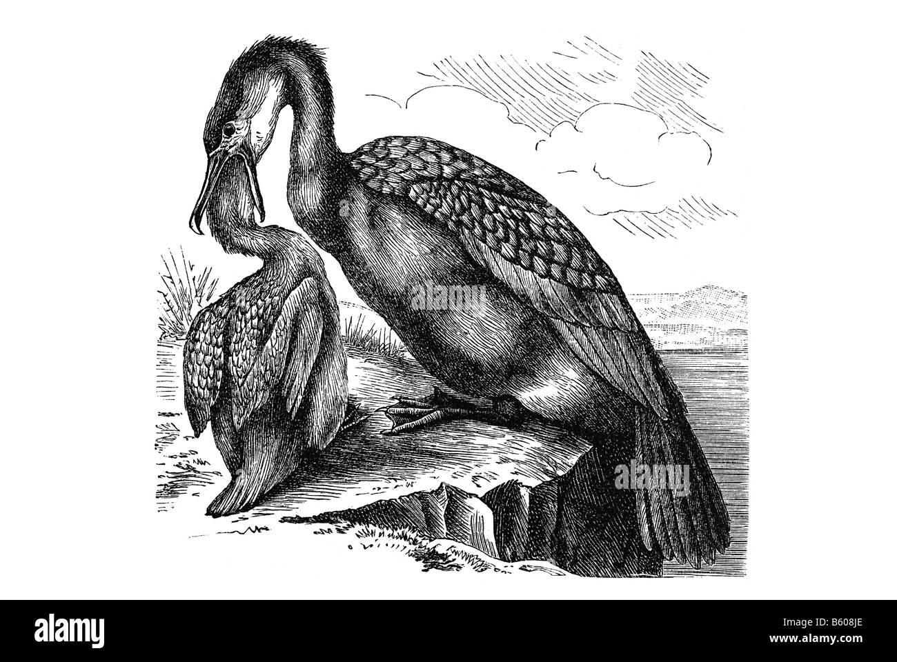 Great Cormorant (Phalacrocorax carbo) - Stock Image