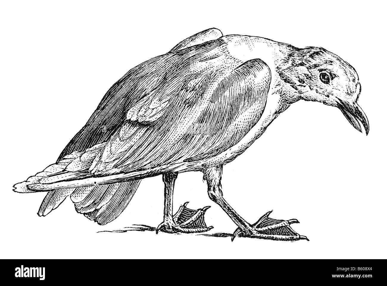 Mediterranean Gull, (Larus melanocephalus) (Ichthyaetus melanocephalus) - Stock Image