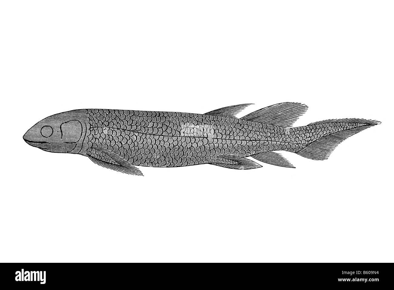 Lungfish Dipterus valenciennesi fossil fish - Stock Image