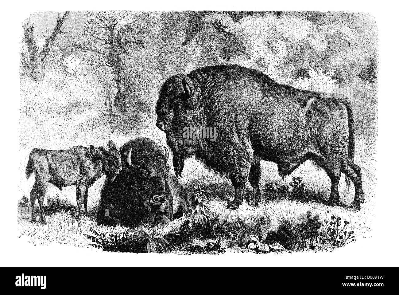 European bison Bison bonasus bison species and the heaviest surviving land animal in Europe - Stock Image