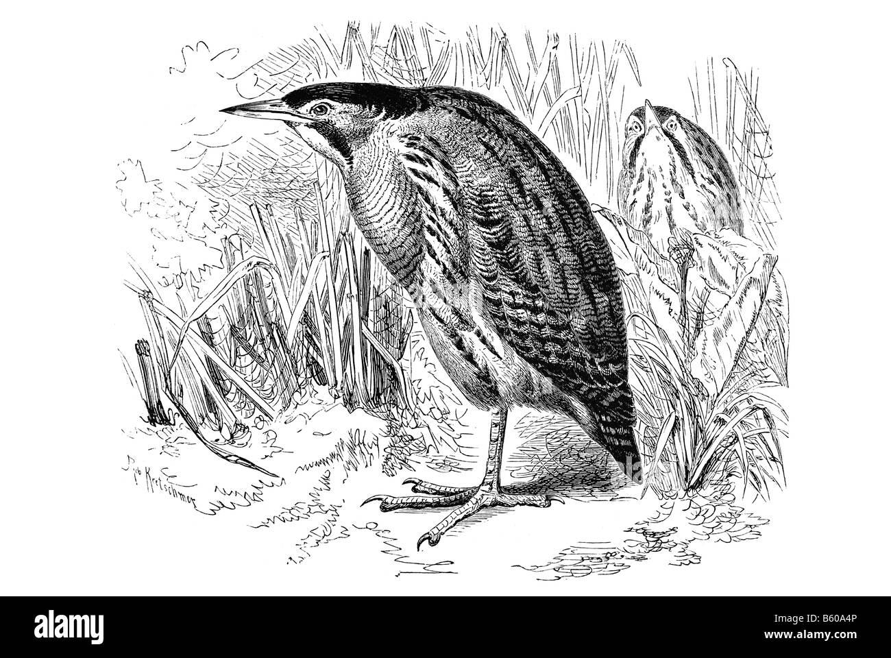 Eurasian Bittern or Great Bittern Botaurus stellaris is a wading bird of the heron family Ardeidae Stock Photo
