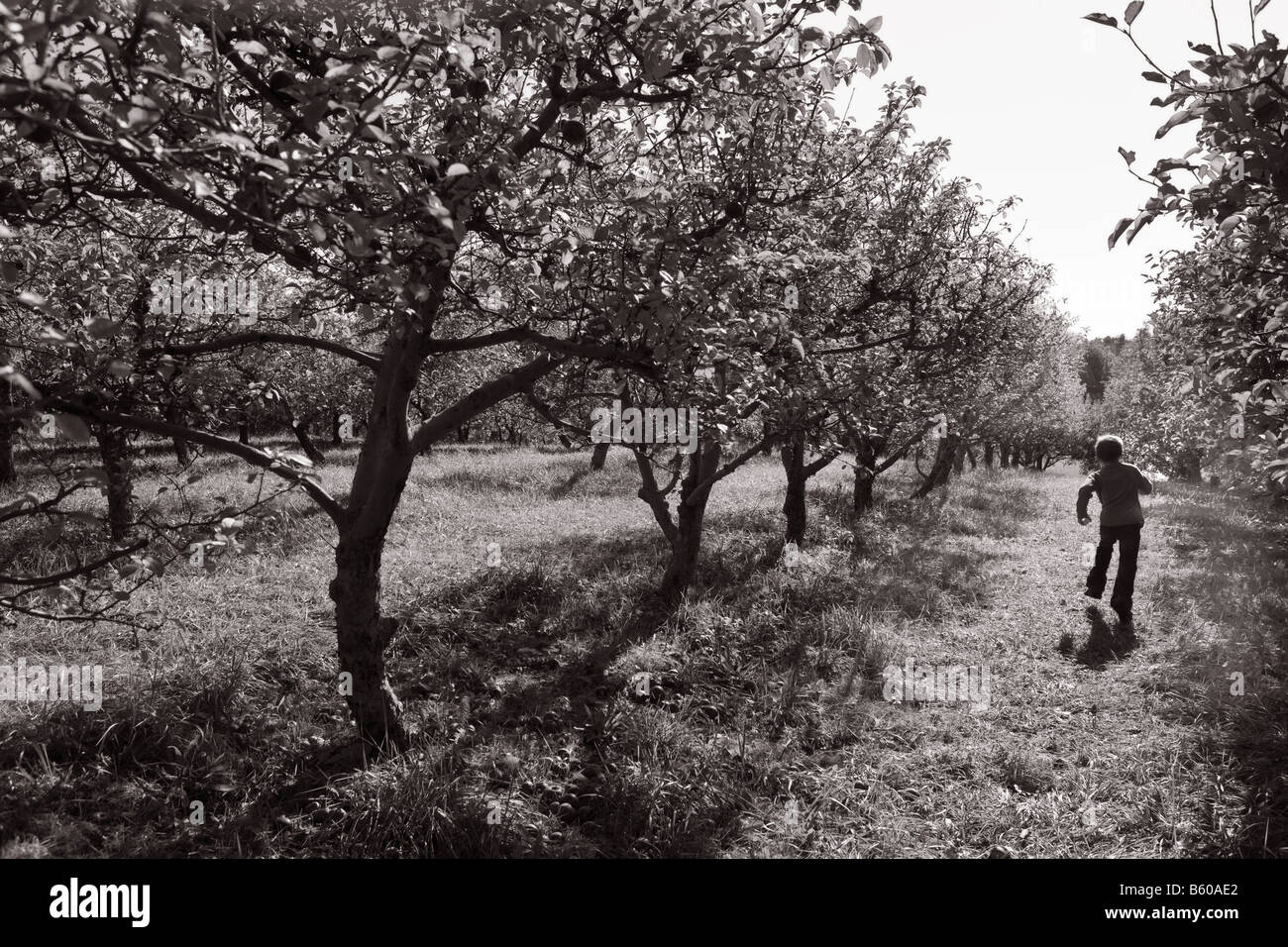 d333523854 Small Child running through Rows of Apple Trees in an Orchard during ...