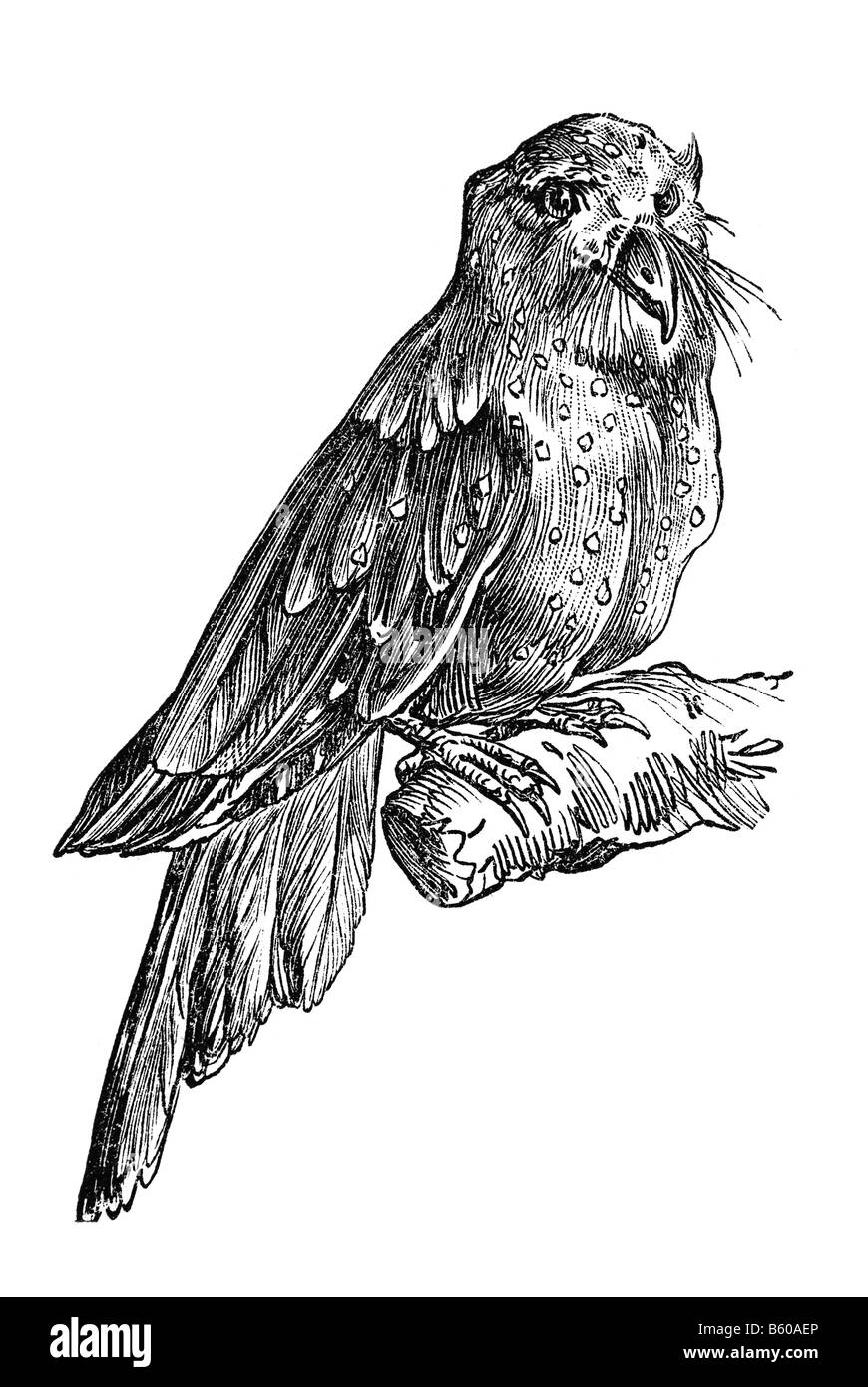 Oilbird (Steatornis caripensis), also known as Guácharo - Stock Image