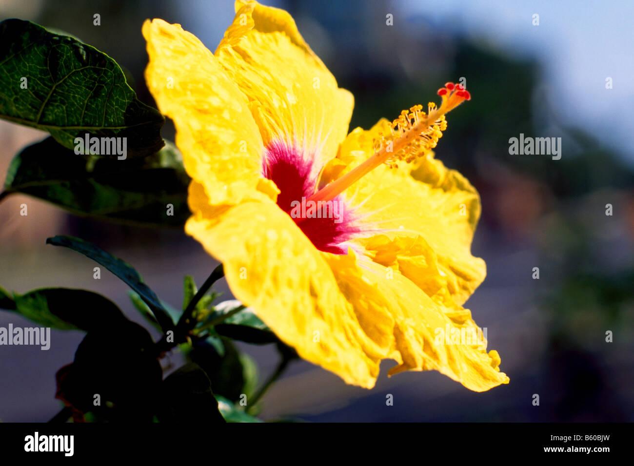 Hawaii hibiscus oahu usa stock photos hawaii hibiscus oahu usa hawaii tropical flowers yellow hibiscus flower in bloom island of oahu hawaii izmirmasajfo