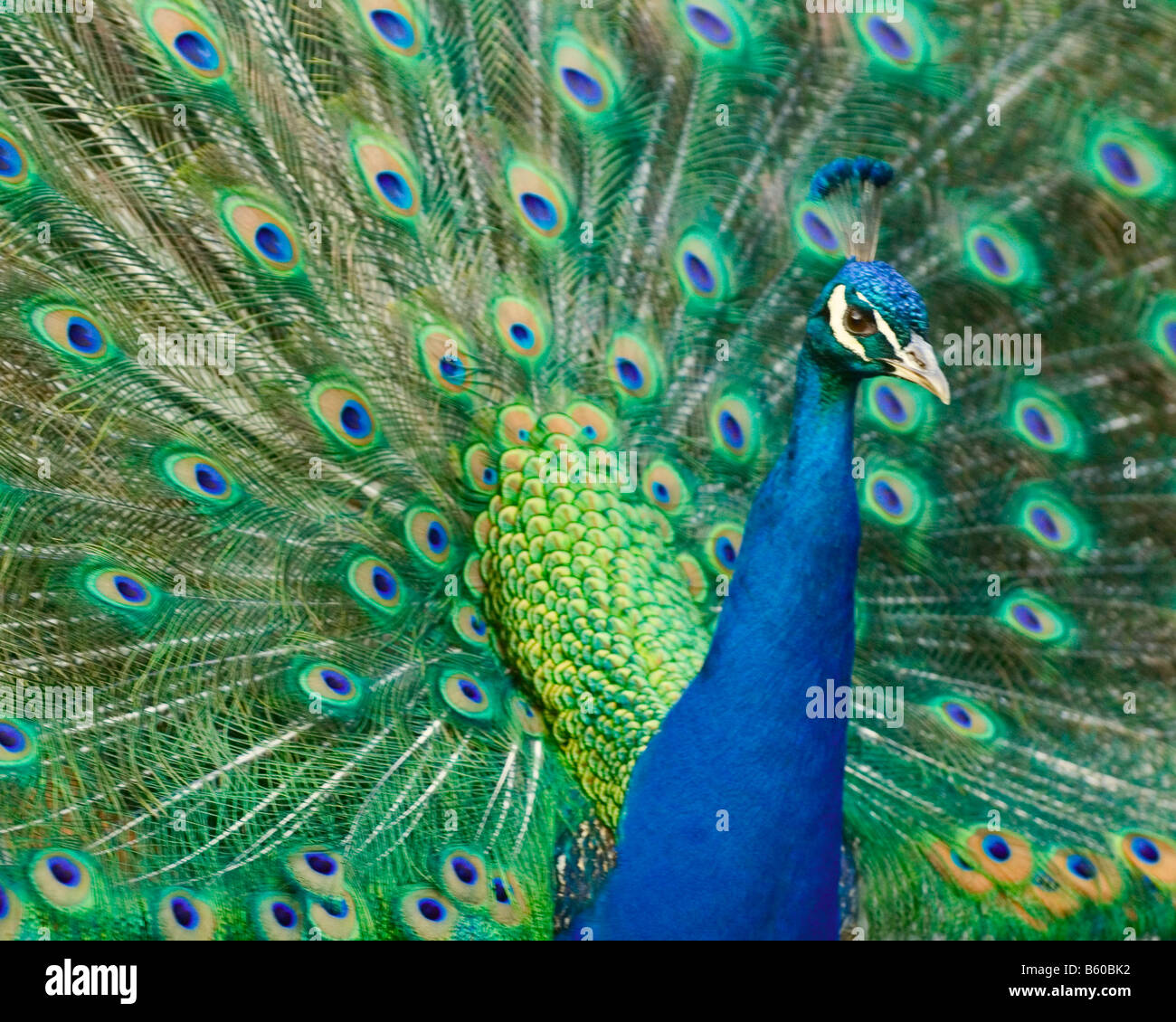 Indian Peacock with extended tail train Stock Photo