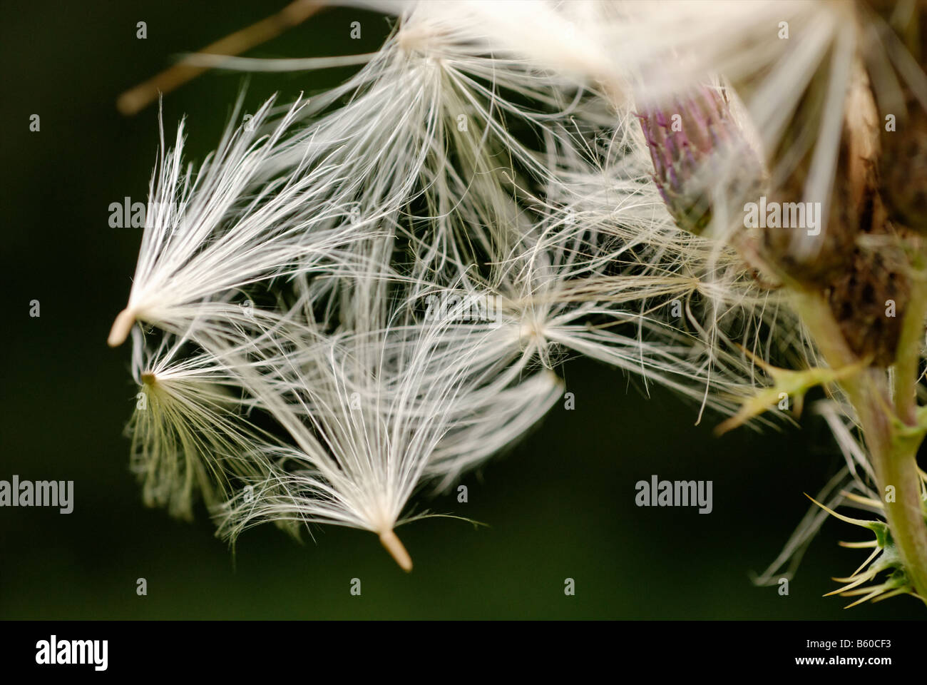 Creeping Thistle gone to seed - Stock Image