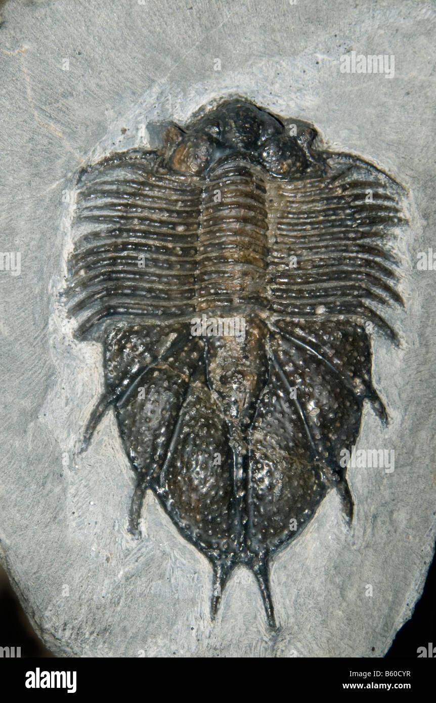 Fossil Trilobite (Acanthopyge sp.) Devonian, Morocco - Stock Image