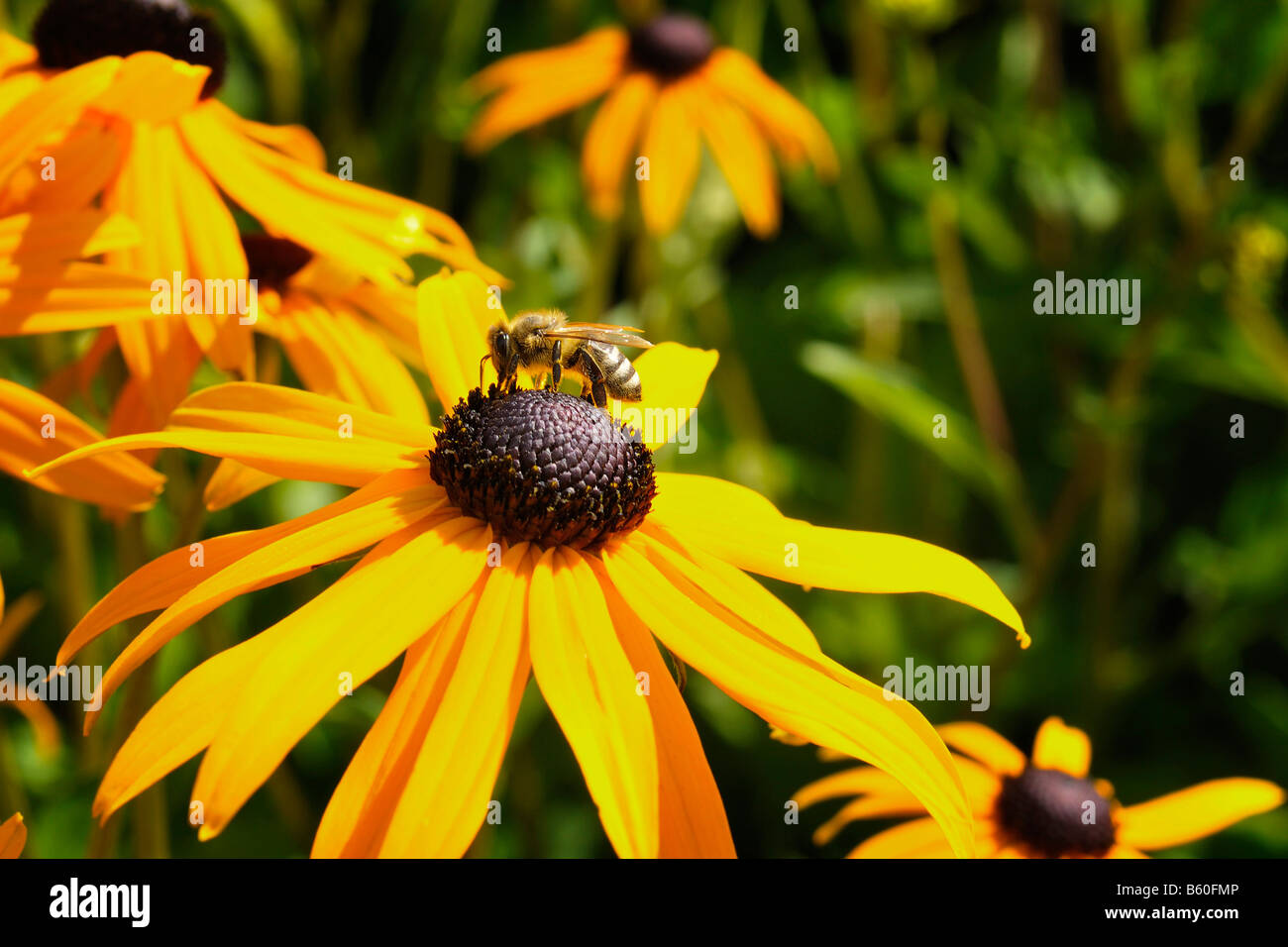 Showy Coneflower (Rudbeckia speciosa) with a bee - Stock Image