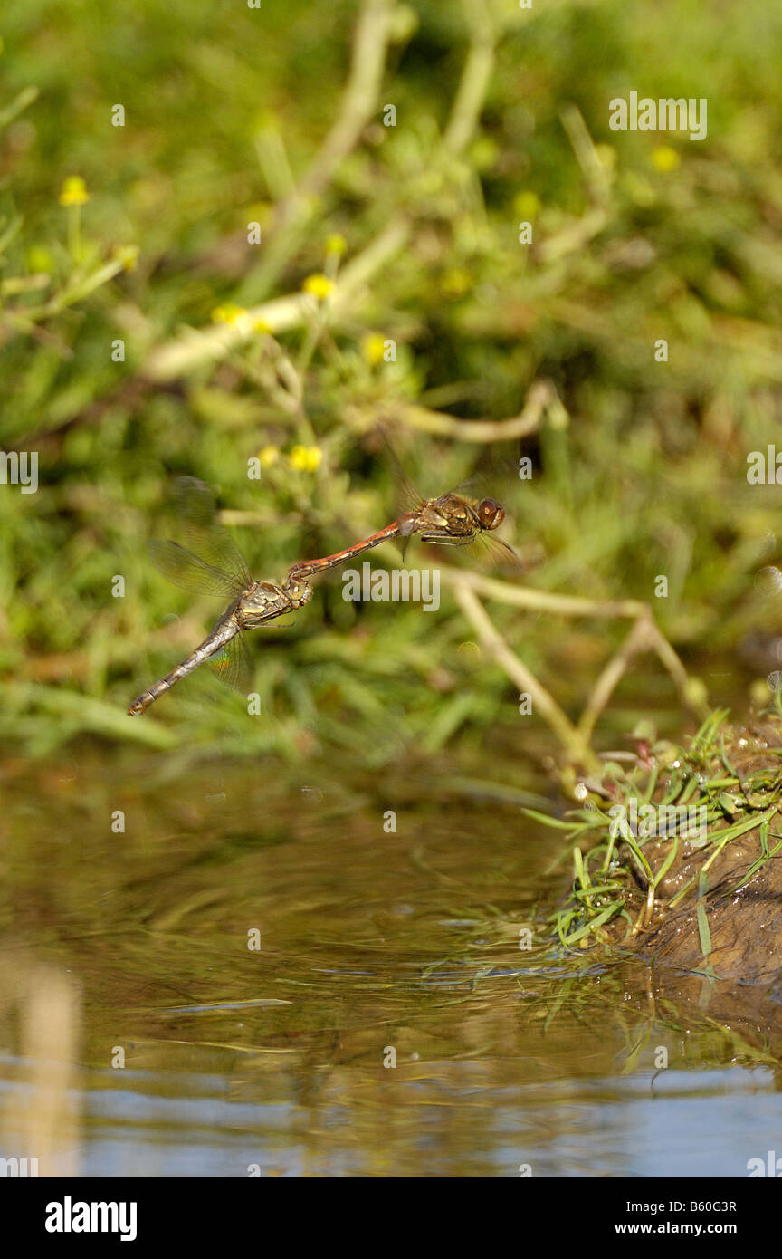 Dragonflies Common darters sympetrum striolatim pair in egg laying activity over pond Norfolk UK September - Stock Image