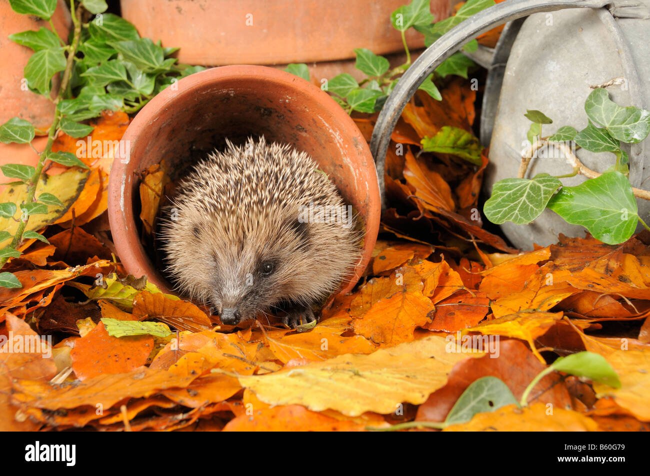 Hedgehog erinaceus europaeus foraging for food in urban garden amongst terracotta pots and autumn leaves UK - Stock Image