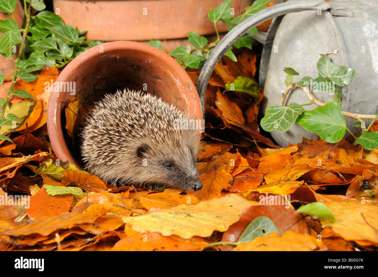 Hedgehog erinaceus europaeus foraging for food in urban garden amongst terracotta pots and autumn leaves UK Stock Photo
