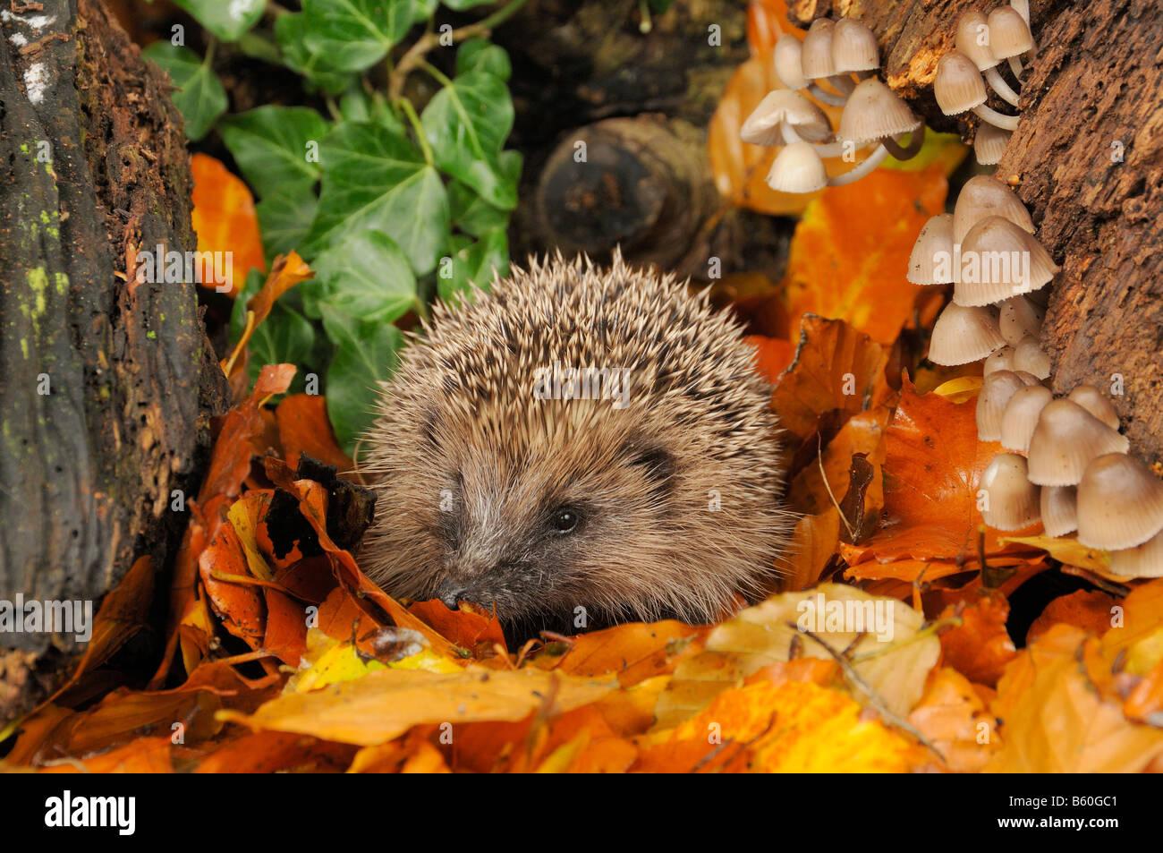 Hedgehog erinaceus europaeus foraging for food in autumn woodland setting UK - Stock Image