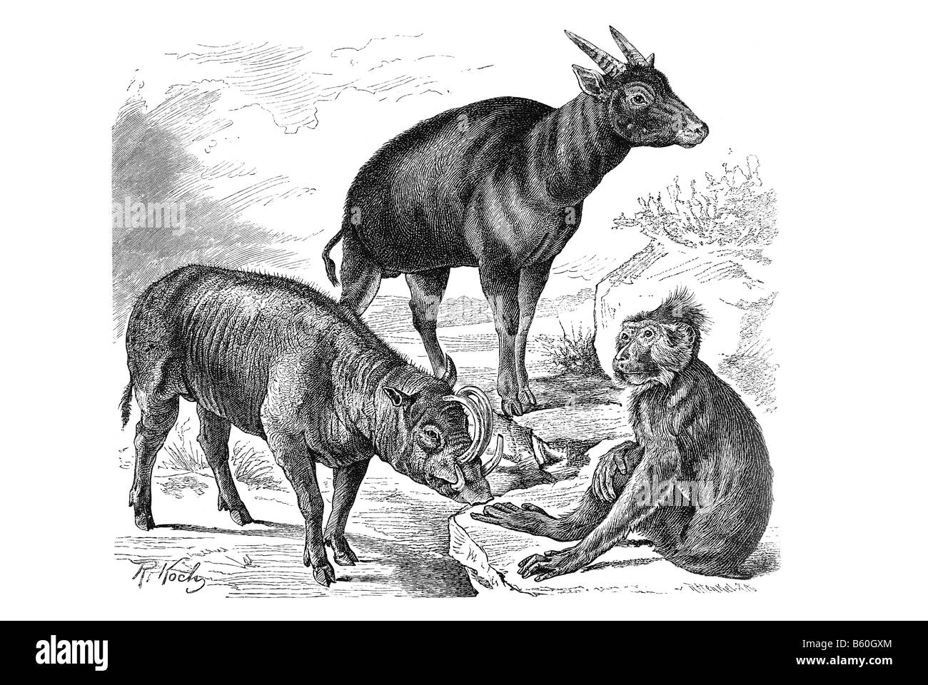 Anoa buffalo & Golden Babirusa & Crested Black Macaque - Stock Image