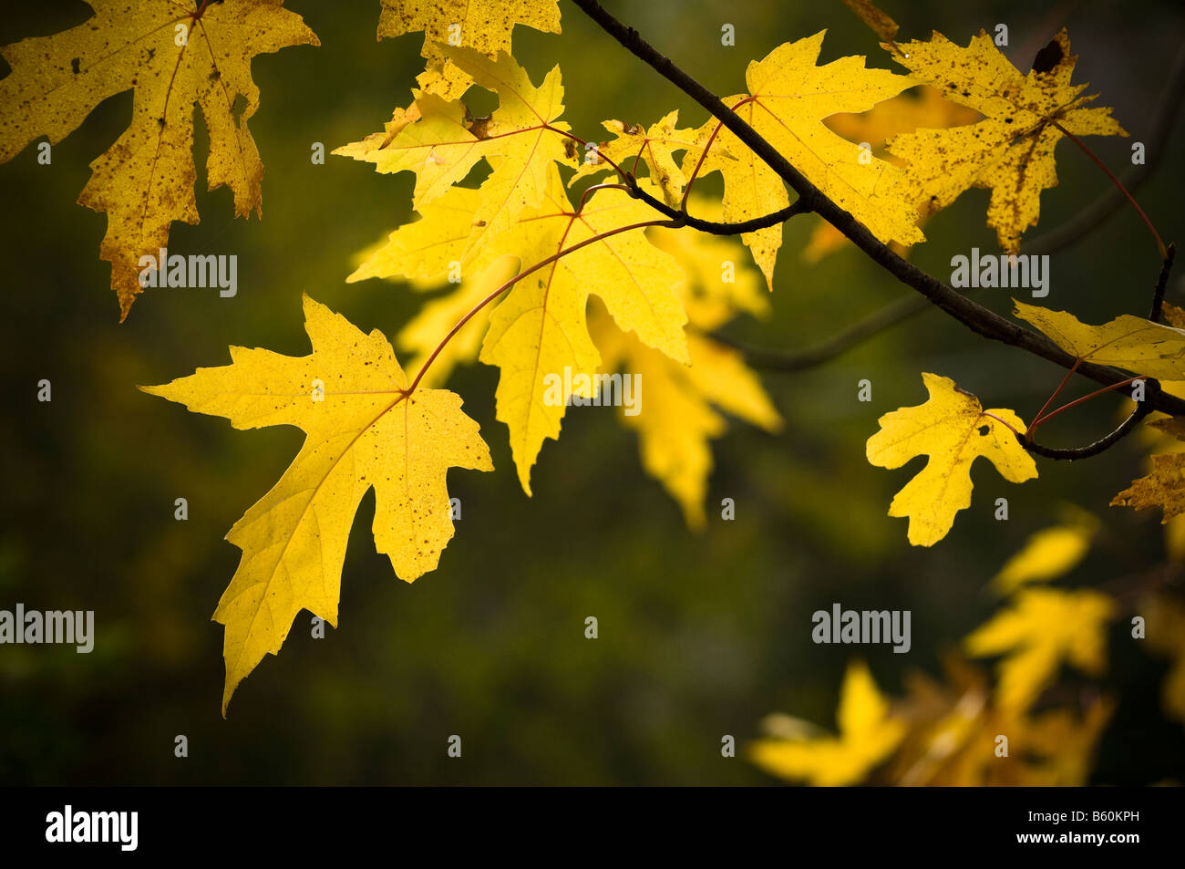 Silver maple tree leaves in Fall. - Stock Image