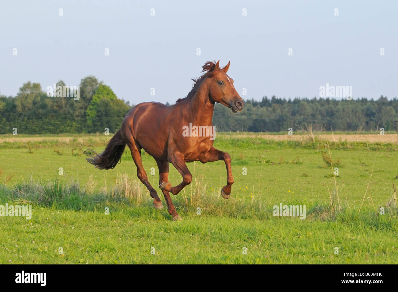 Lusitano horse stallion in the paddock in the evening - Stock Image