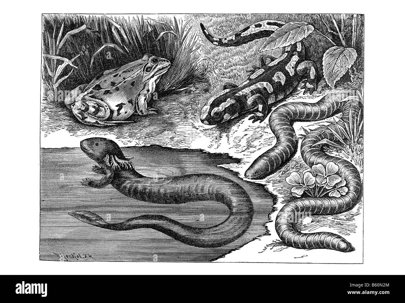 Amphibians - Stock Image