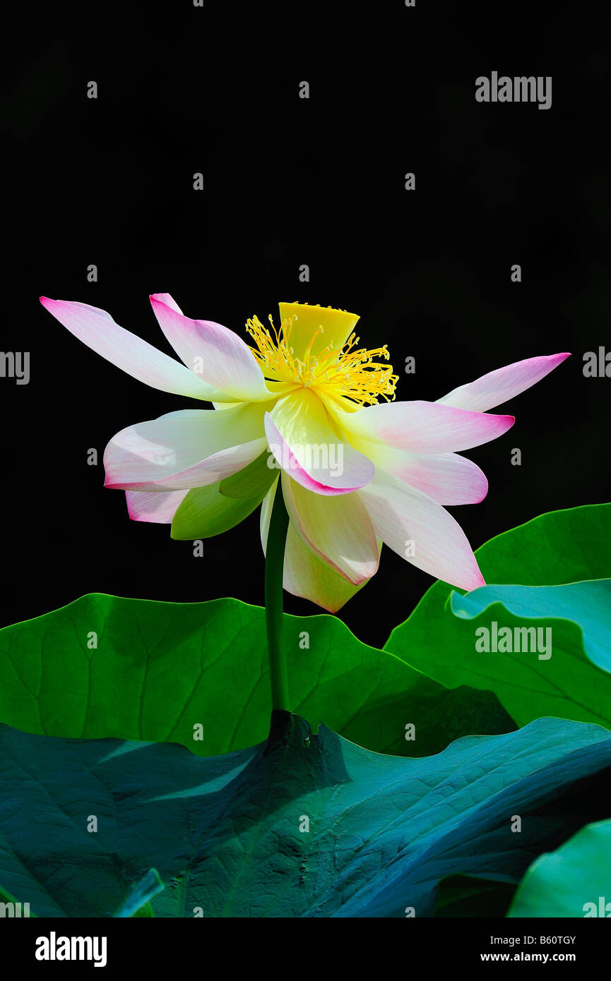 Open lotus nelumbo flower stock photo 20917595 alamy open lotus nelumbo flower izmirmasajfo