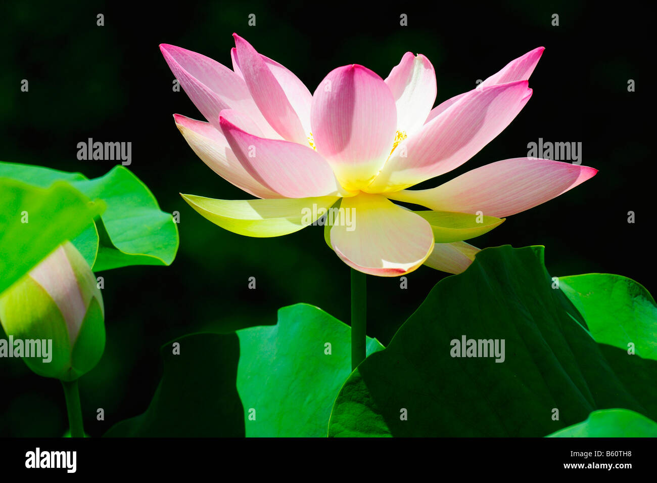 Open lotus nelumbo flower stock photo 20917604 alamy open lotus nelumbo flower izmirmasajfo