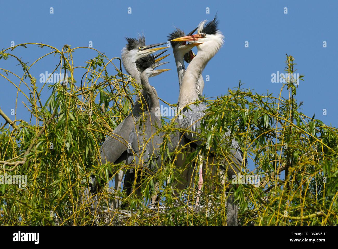 Grey Heron (Ardea cinerea) feeding its fledglings, Mannheim, Baden-Wuerttemberg - Stock Image